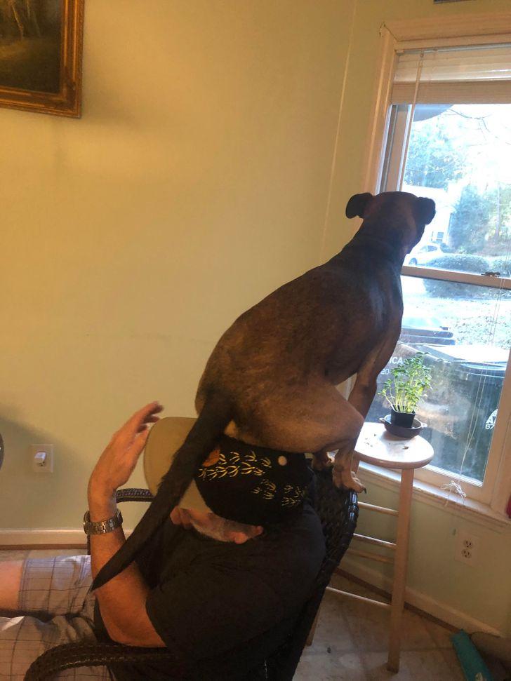 собака сидит на спинке кресла и смотрит в окно