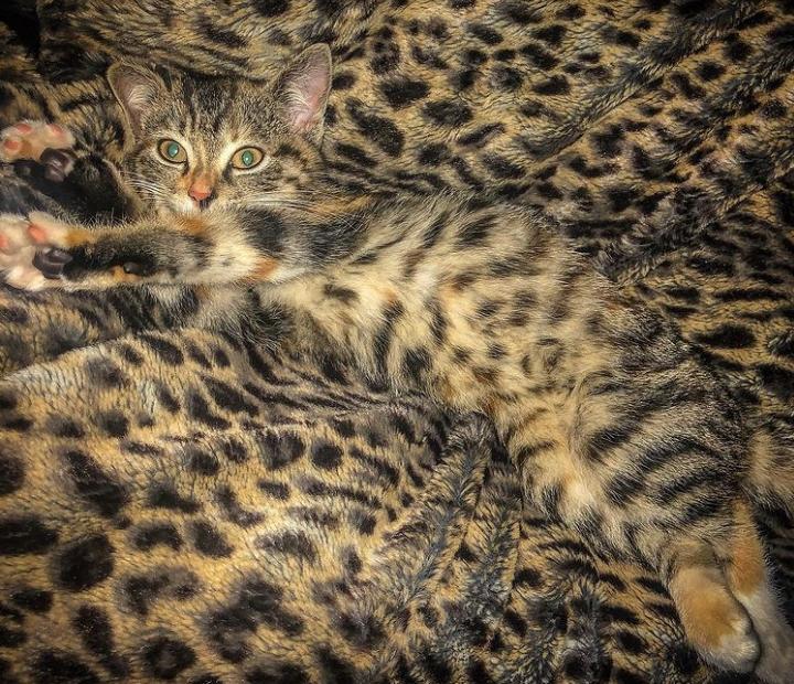 котенок лежит на леопардовом покрывале