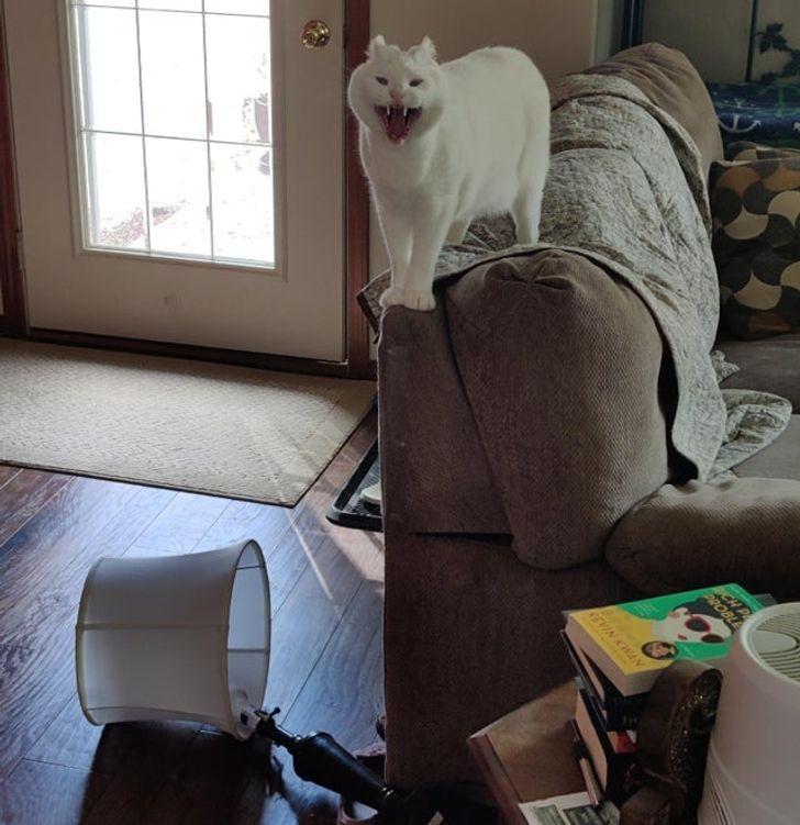 белая кошка орет на спинке дивана