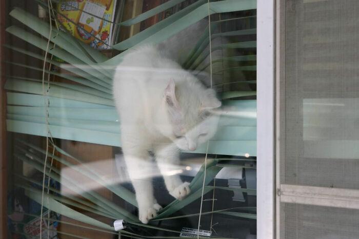 белый кот на жалюзи