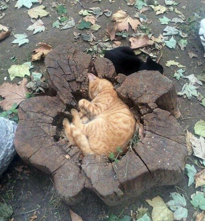 рыжий кот спит в пне