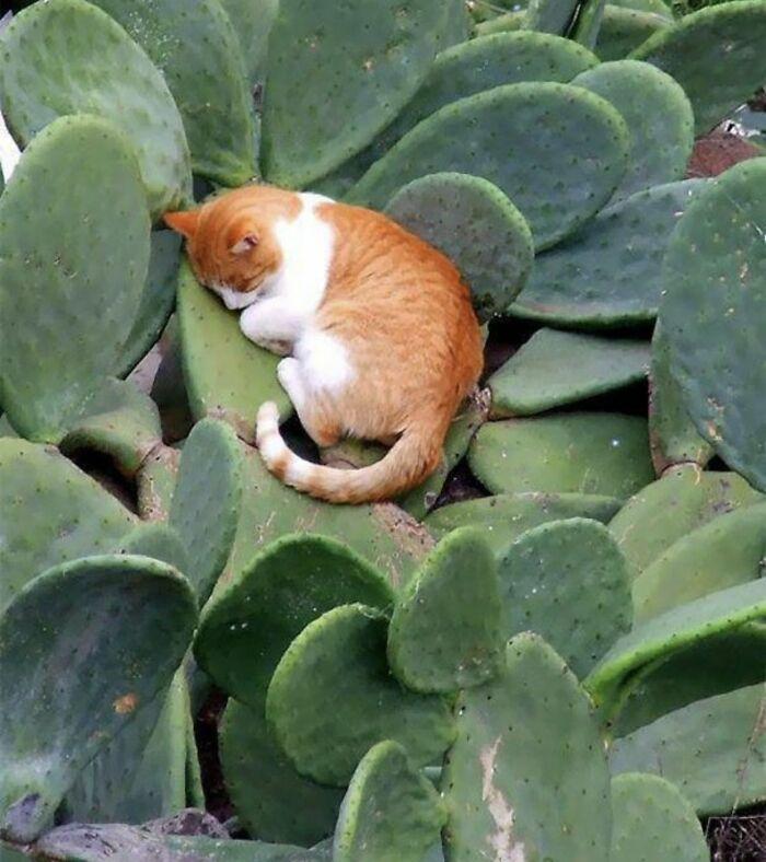 рыже-белый кот спит на кактусе