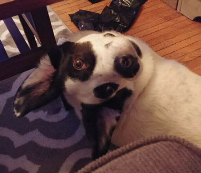 черно-белая собака лежит на полу