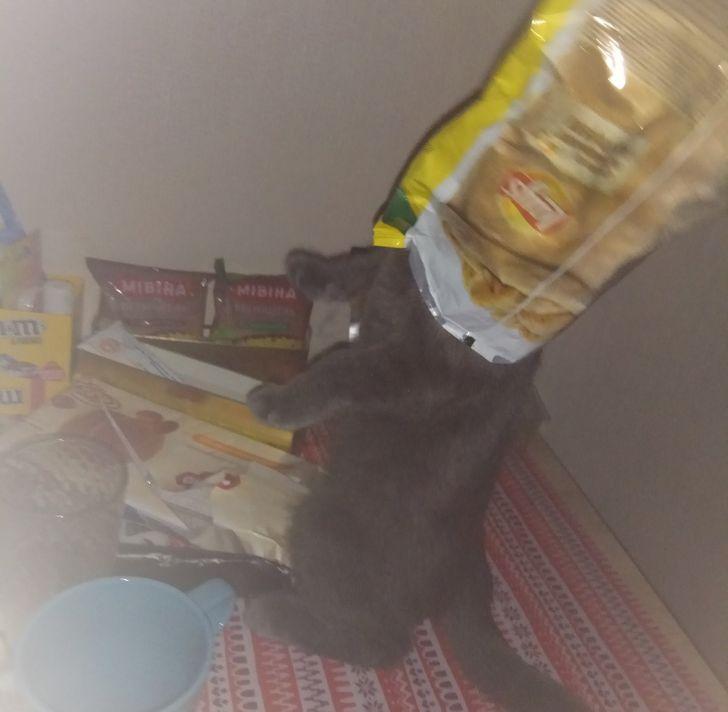 кот с пачкой на голове