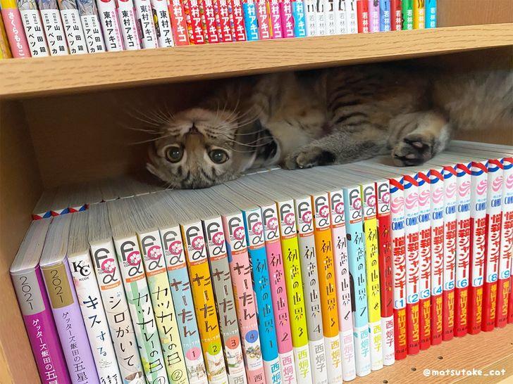 кот лежит на книжной полке