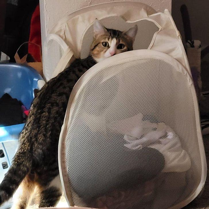 кот в корзине с бельем