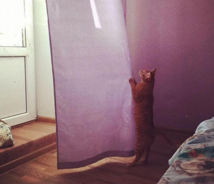 рыжая кошка зацепилась за штору