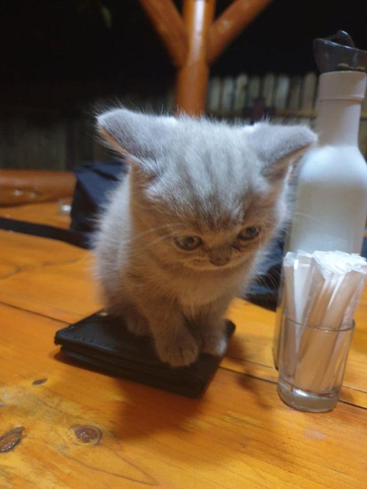 серый котенок сидит на кошельке