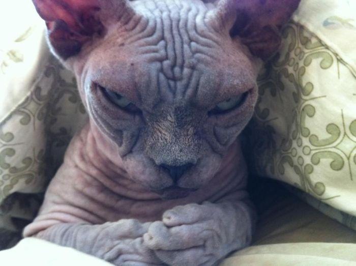 злой кот сфинкс