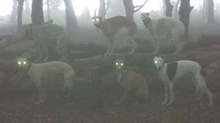 собаки со светящимися глазами