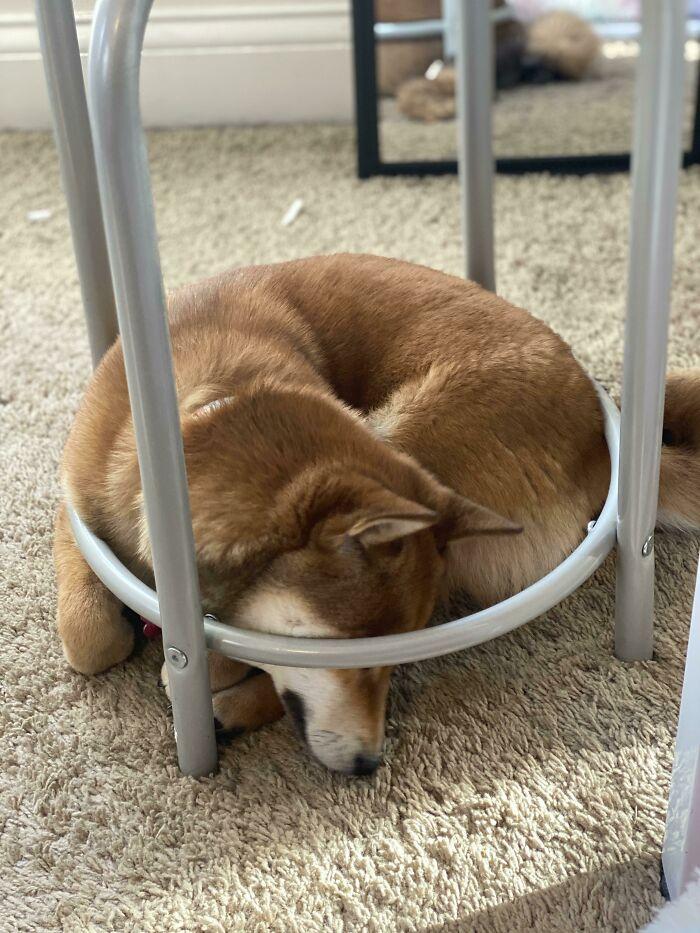 рыжий пес спит под табуретом