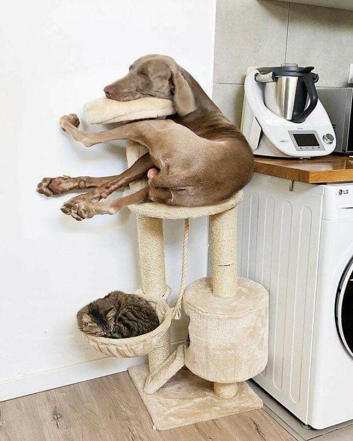 собака спит на подставке для котов