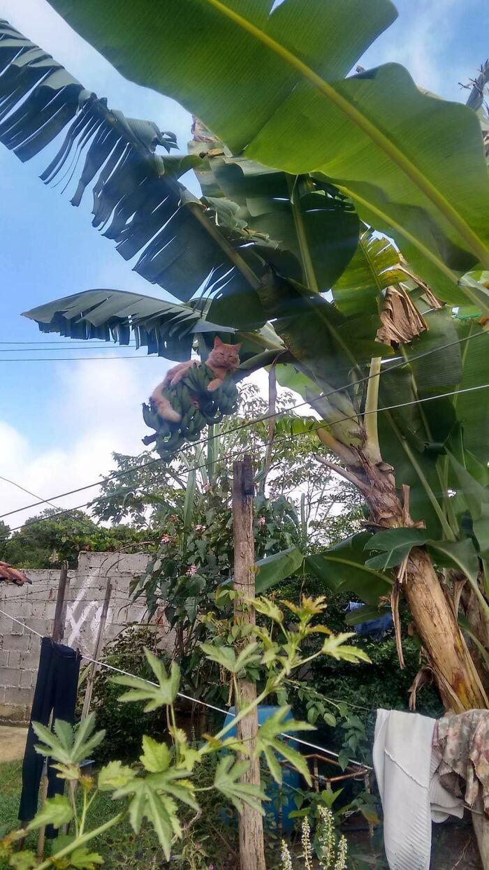 рыжий кот на банановом дереве