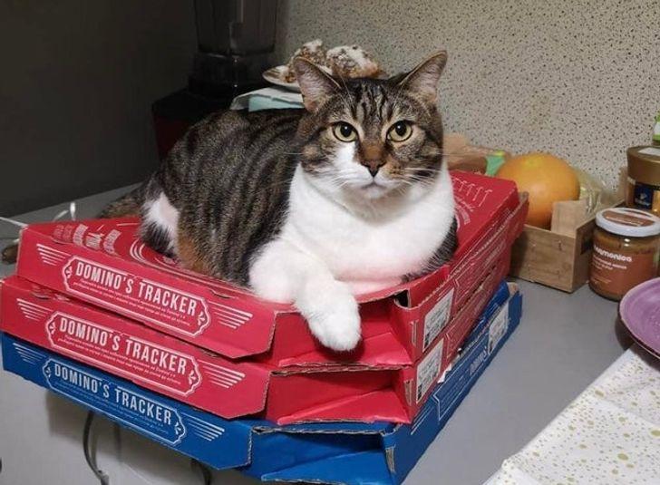 полосатый кот на коробках с пиццей