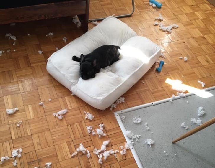 черный бульдог лежит на порванной подушке