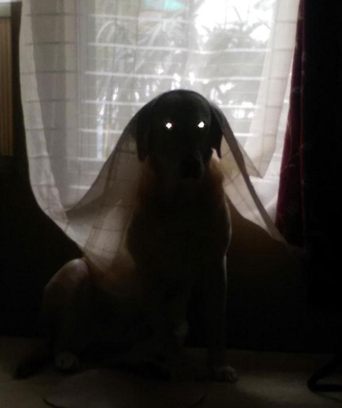 собака за занавеской