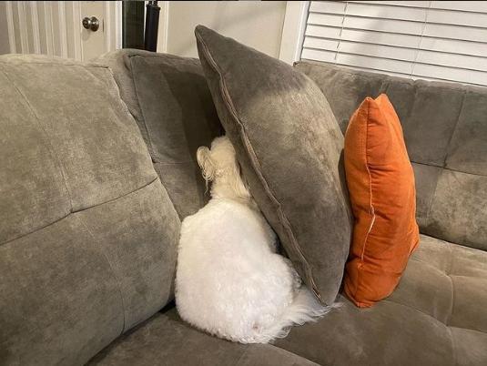 белая собака за подушкой на диване