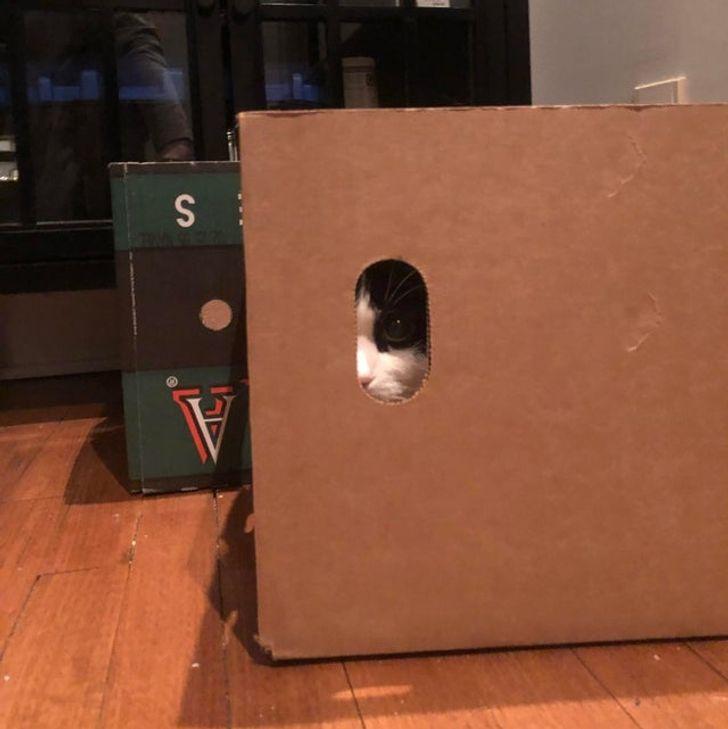 кошка выглядывает из коробки
