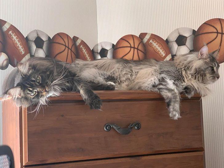 два серых кота лежат на тумбочке