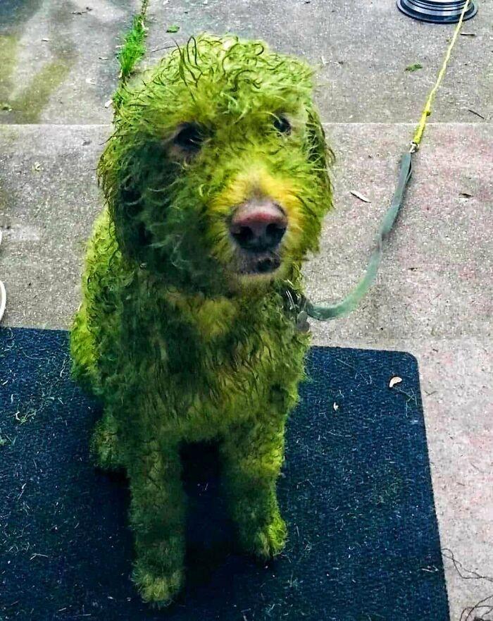 собака вымазанная травой