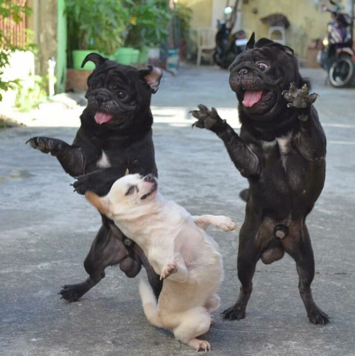 три собаки стоят на задних лапах