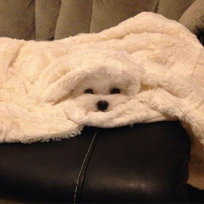 белая собачка под одеялом