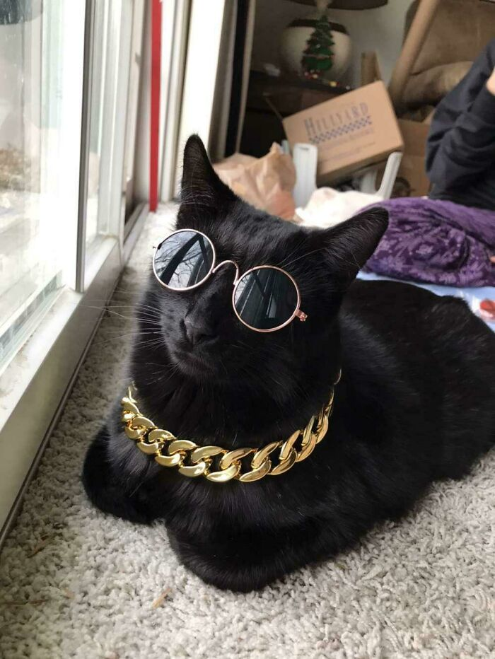 черная кошка в очках