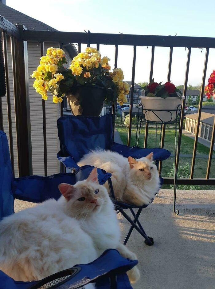 кошки на балконе сидят в креслах