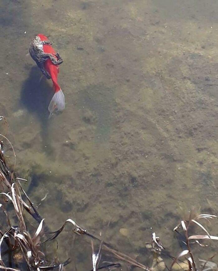 жаба держится за рыбу в воде