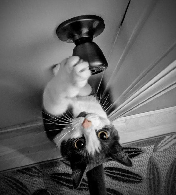 черно-белый кот открывает дверь