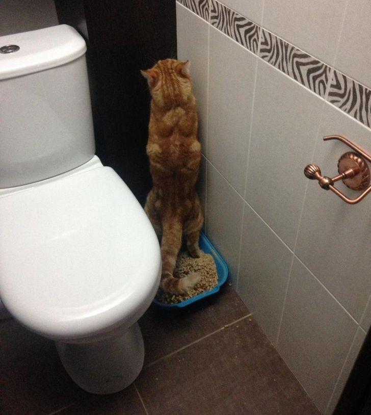 рыжий кот в туалете