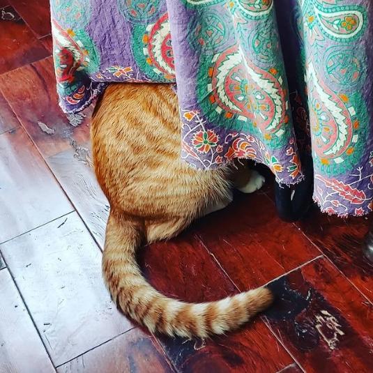 рыжий кот сидит за шторой