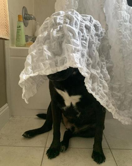собака под занавеской