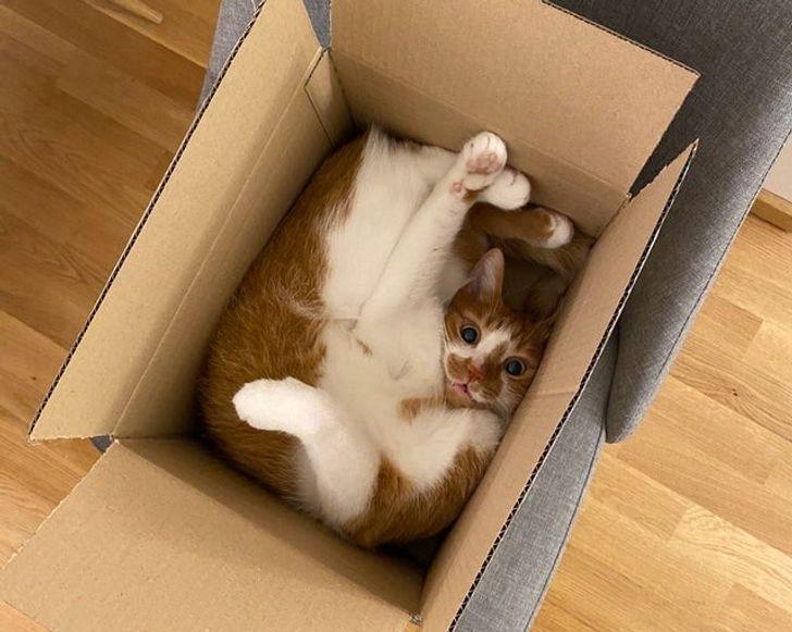 рыже-белый кот лежит в коробке