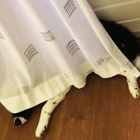 собака лежит за занавеской