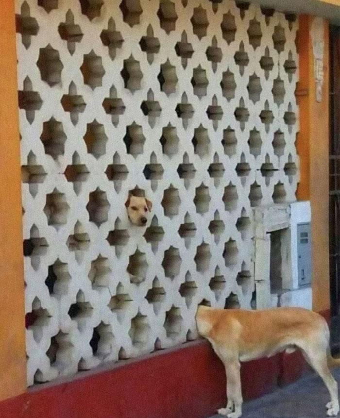 рыжая собака головой в заборе