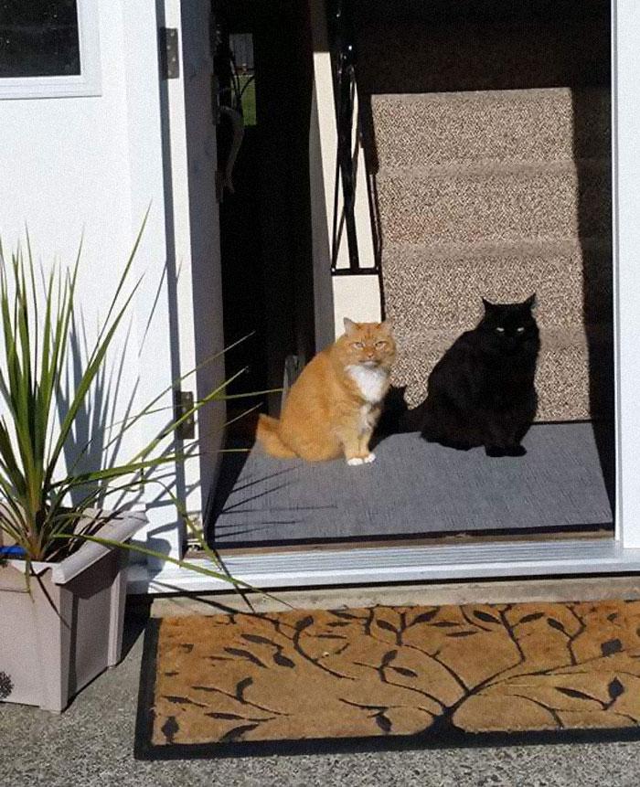 рыжий и черный кот