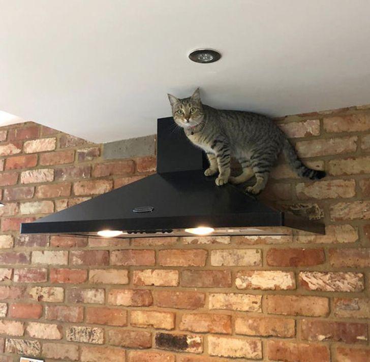 полосатый кот стоит на вытяжке