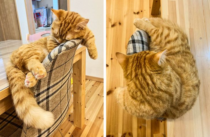 рыжий кот спит, облокотившись на стул