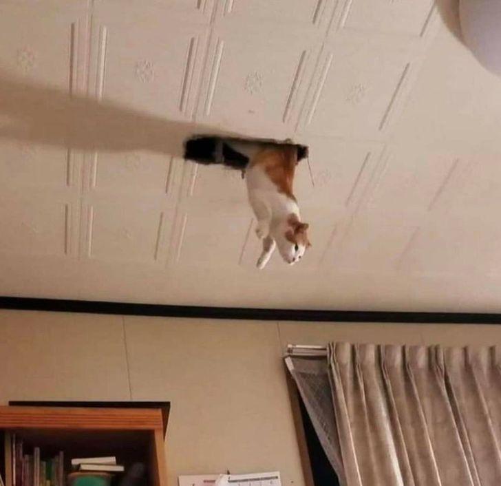 кот свисает с потолка