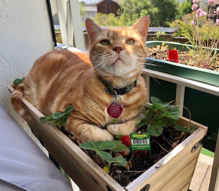 рыжий кот лежит в ящике с клубникой