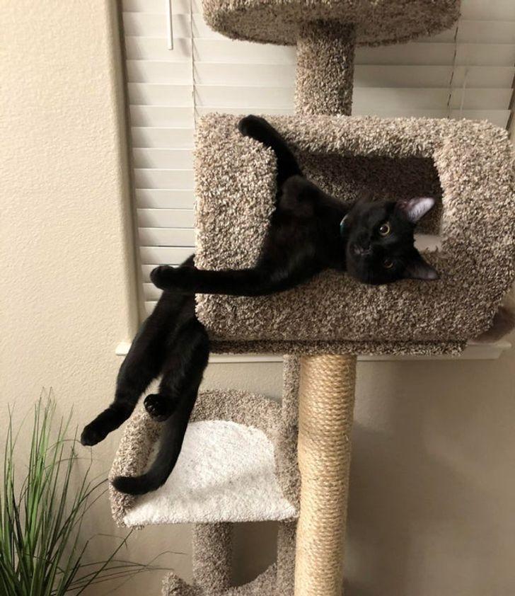 черный кот висит на кошачьем дереве