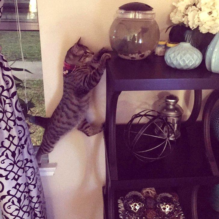 полосатый кот лезет в аквариум