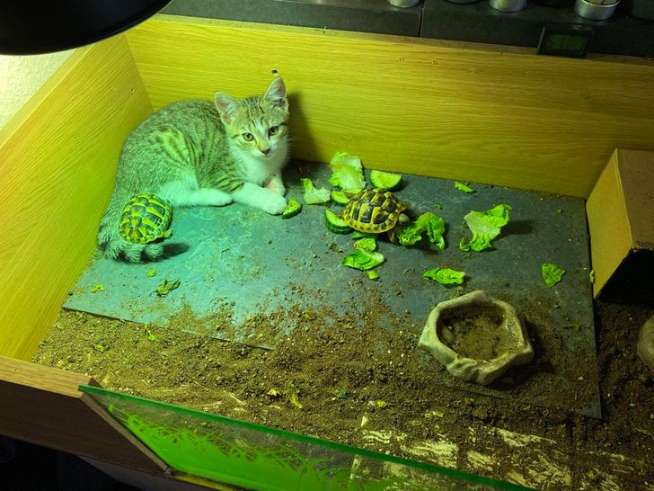 котенок сидит в контейнере с черепахами