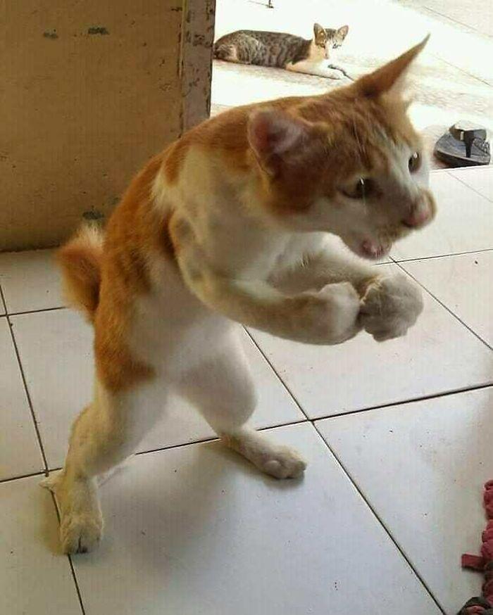 рыже-белый кот стоит на задних лапах