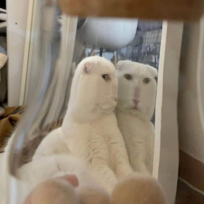 белый кот в отражении