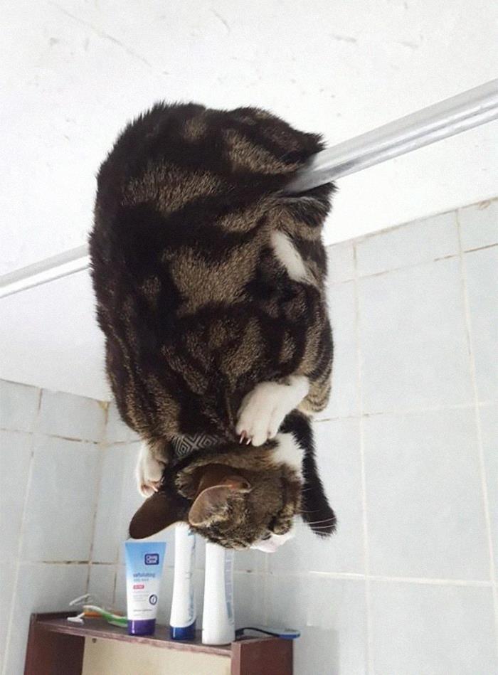 полосатый кот висит вниз головой на карнизе для занавески