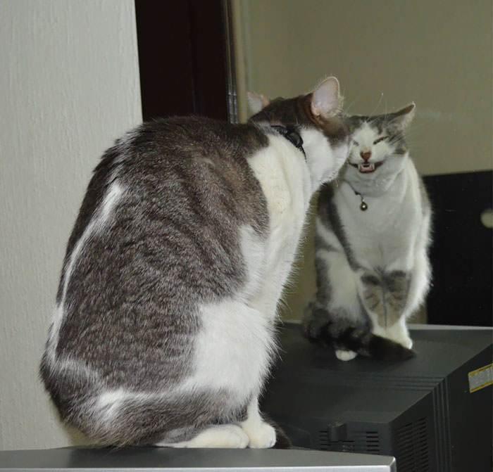 кот улыбается перед зеркалом