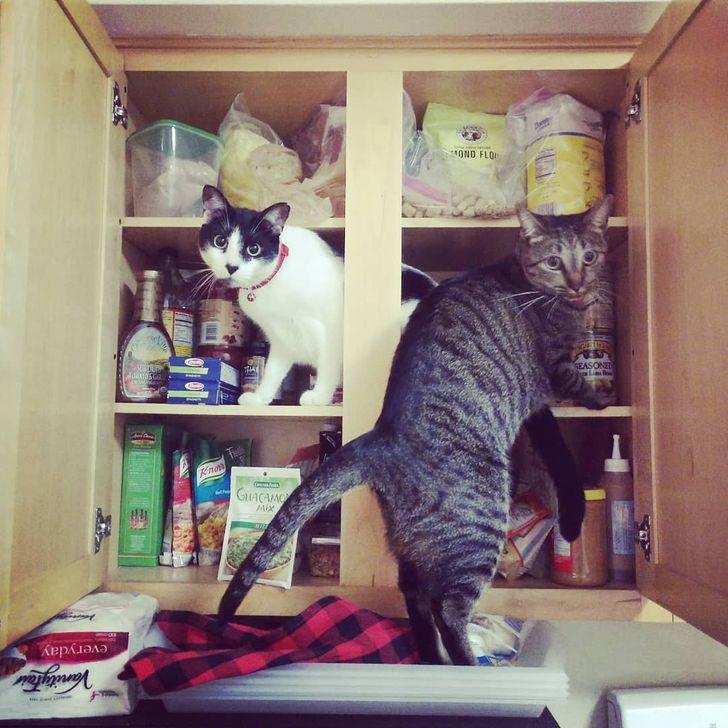 коты роются на полках с едой