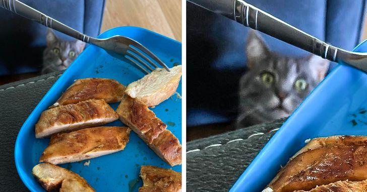 кот смотрит на поднос с курицей